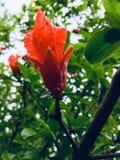 番木瓜花在雨以后开花 库存照片