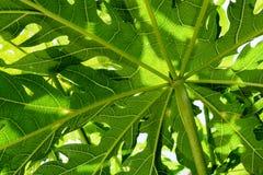 番木瓜绿色从下面留给背景、关闭看法光和阴影 免版税库存照片