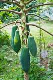 番木瓜 图库摄影
