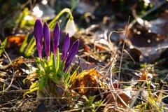 番红花、复数番红花或者croci是开花植物类虹膜家庭的 免版税库存照片