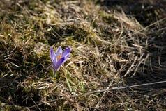 番红花一朵花在干草的 库存照片