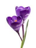 番红花两朵花  免版税库存图片