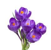 番红花五朵花  库存照片