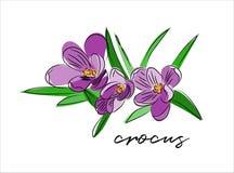 番红花传染媒介例证 开花紫色弹簧 免版税库存图片