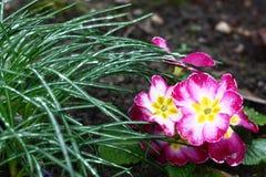 番红花和樱草属。 库存照片