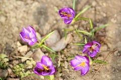 番红花和蜂 图库摄影