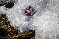 番红花和雪在春天 库存图片
