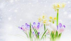 番红花和水仙在轻的背景与被画的雪,侧视图的花床 库存照片