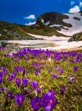 番红花在保加利亚开花七个Rila湖 免版税库存照片