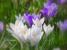 番红花在前景的春天花 免版税图库摄影