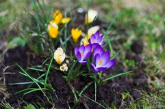 番红花在庭院里在阳光天 番红花绽放 背景蒲公英充分的草甸春天黄色 免版税库存照片
