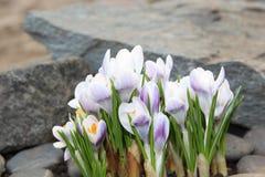 番红花在庭院里开花春天绽放 库存图片
