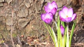番红花在庭院里,春天,番红花 股票视频