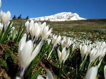 番红花在意大利阿尔卑斯 免版税库存图片
