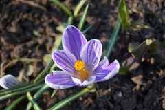 番红花在我的庭院里在春天 免版税库存图片