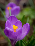 番红花在春天庭院里 库存照片