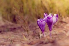 番红花在春天温暖的光芒开花  免版税库存图片
