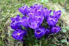 番红花在春天 免版税图库摄影