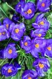 番红花在春天 免版税库存照片