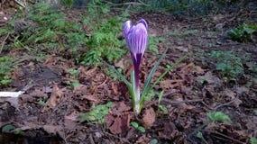 番红花在春天 库存图片