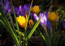 番红花在春天 图库摄影