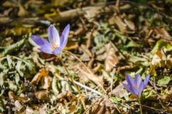 番红花在秋天森林里 免版税库存图片