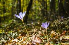 番红花在秋天森林里 免版税库存照片