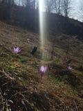 番红花在阳光下 库存照片