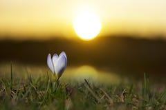 番红花在黎明 免版税库存照片