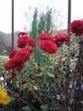 番红花在11月 免版税库存图片