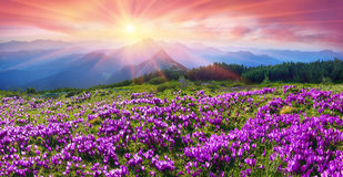 番红花在Gorgany 免版税库存照片