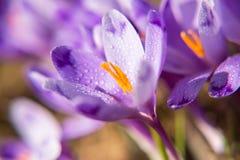 番红花开花在春天的在山 免版税库存照片