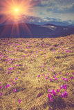 番红花开花在春天的在山 免版税库存图片