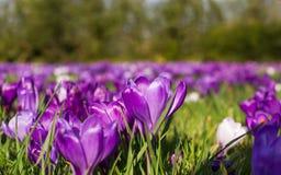 番红花开花在春天草甸的春天花 免版税库存图片