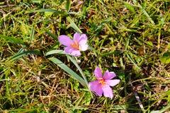 番红花开花番红花,白云岩,意大利 库存图片