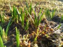 番红花新芽从地面在早期的春天发生了 库存照片