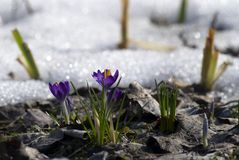 番红花早期的春天 库存图片
