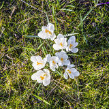 番红花是其中一朵第一朵春天花装于罐中使用作为背景 免版税库存照片