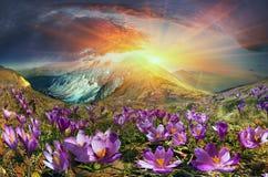 番红花是在山的第一朵花 免版税库存照片
