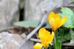 番红花是黄色的 春天练习曲 图库摄影