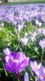 番红花用不同的树荫紫罗兰色紫色开花在复活节时间的春天 免版税库存图片