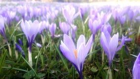 番红花用不同的树荫紫罗兰色紫色开花在复活节时间的春天 免版税库存照片