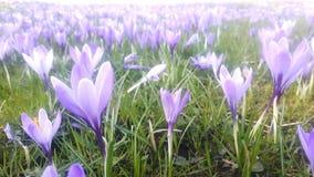 番红花用不同的树荫紫罗兰色紫色开花在复活节时间的春天 库存图片