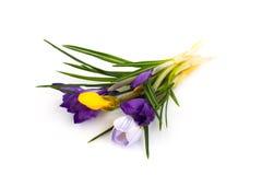 番红花第一朵春天庭院花 库存照片
