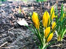 番红花第一朵春天花  库存图片
