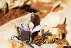 番红花第一朵花开花例证雪春天向量 免版税库存图片