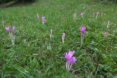 番红花第一朵花开花例证雪春天向量 库存照片