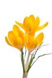 番红花第一朵花开花例证雪春天向量 免版税图库摄影