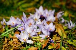 番红花第一朵花开花例证雪春天向量 免版税库存照片