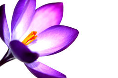 番红花紫罗兰色生动 库存图片